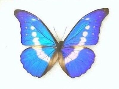 One Real Butterfly Blue Peruvian Morpho Helena Papered Unmounted Wings Closed