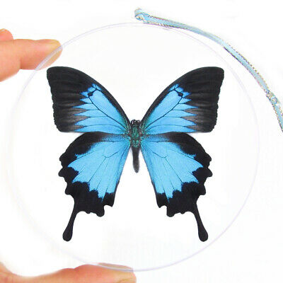 Real Butterfly Blue Papilio Ulysses Swallowtail Christmas Ornament Clear