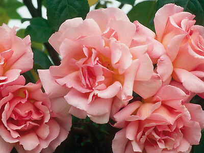 2 x Pink 'Compassion' Climbing Rose (Bare Root) FREE Postage UK