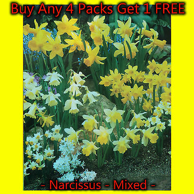 100 Mixed Narcissi Bulbs (Daffodil) Spring Flower PRE ORDER For Delivery Aug/Sep