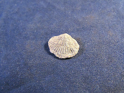 Fossil - Small Bivalve - from UK found Late1860s    (BAC1602)