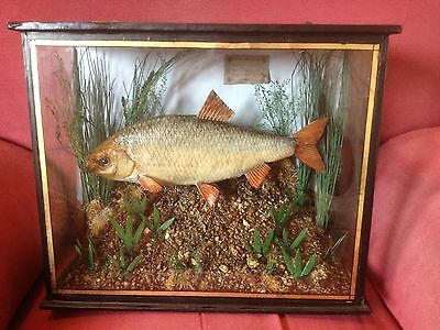 Taxidermy Cased Fish...a Roach With A Date Label For 1870