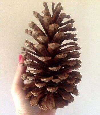 10 HUGE PINE CONES  Flat RARE  freestanding  - hand selected speciality