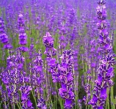500 TRUE ENGLISH LAVENDER VERA Augustifolia Herb Flower Seeds + Gift & Comb S/H