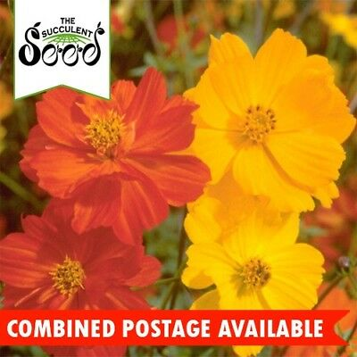 COSMOS  - Bright Lights (300 Seeds) HEIRLOOM Cosmos sulphureus WILDFLOWERS