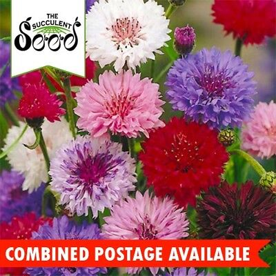 CORNFLOWER  - Polka Dot Mix (400 Seeds) Centaurea cyanus HEIRLOOM Cut Flower