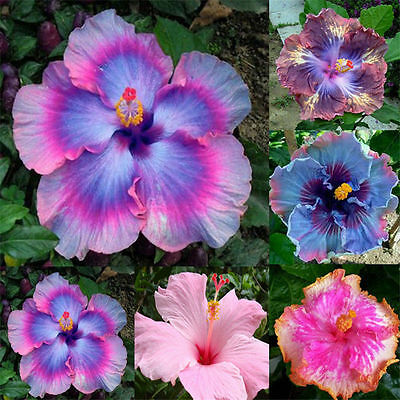 100Seeds Home Garden Giant Hibiscus Exotic Coral Flower Mix Rare Blue-Pink Color
