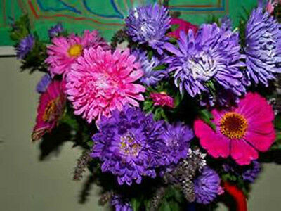 Aster Choice Mixed Annual Seeds
