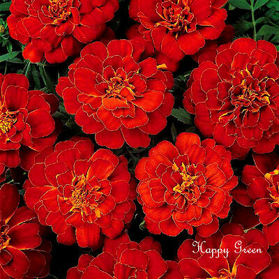 FRENCH MARIGOLD - Double Brocade Red - 350 SEEDS - Tagetes Nana - FLOWER