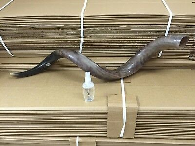 "Kudu Yemenite SHOFAR Horn Kosher Polished Israel Extra Large XL 40""- 42"""
