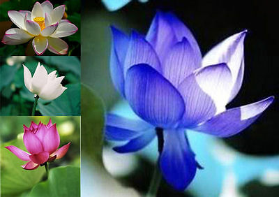 bulk deal yellow /white/red/pink lotus and large holly hox seeds white and pink.