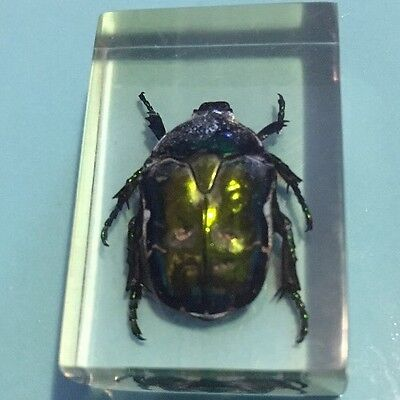 """Real Beetle Insect Specimens In Lucite Paperweight Crafts ~1-1/4"""""""