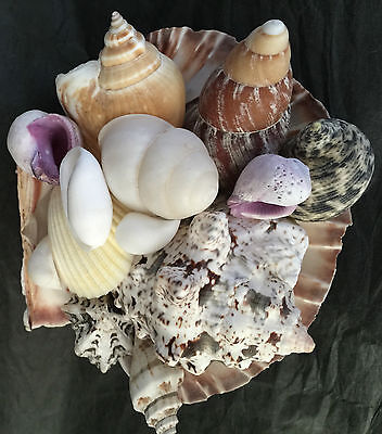 Craft Shells Sea Shells Loose  Shells -  Including  Large Shell.