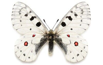 One Oregon Parnassius Smintheus Ssp Unmounted Papered