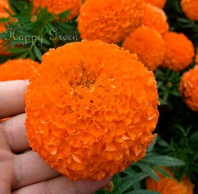 AFRICAN AZTEC MARIGOLD - 300 SEEDS - Tagetes Erecta Double Tall Shiny Orange