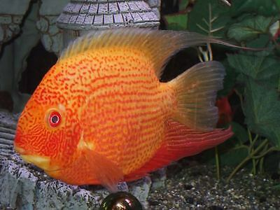 RED SPOTTED SEVERUM aprox 6cm  CICHLID TROPICAL FISH