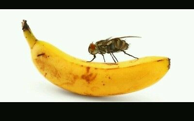 Fruit Fly Trap Easy Kitchen and Bathroom trick