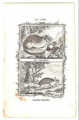 1780 Antique Copperplate Print-Garden Squirel