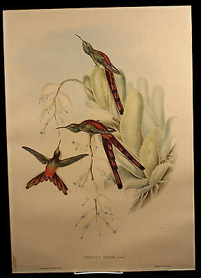 Antique Hand-Colored Bird Lithograph John, Gould Cometes Phaon 1865 Framed Art