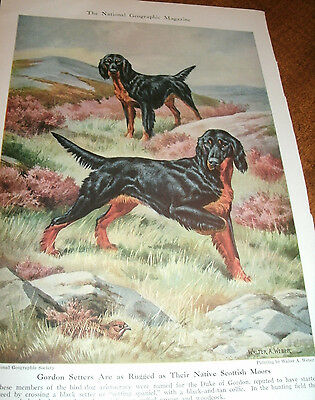 Vintage Walter A. Weber Gordon Setters bookplate 1947 National Geographic Mag
