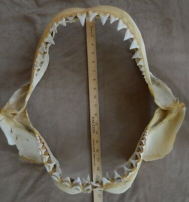 Shark Jaw  Private Collector Selling 21  Great White Shark Jaw