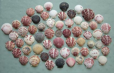 "Lot of 60 Beautiful Colorful Florida Scallop Shells  1-1/8"" to 1-13/16""   #6"