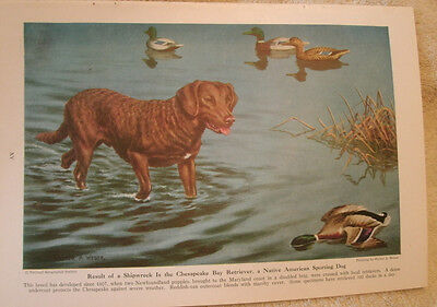 Vintage Walter A. Weber Chesapeake Bay Retriever bookplate 1947 National Geo