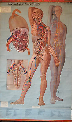 Rare Large Adam Rouilly Life Size Anatomical Wall Chart vintage medical 1940s