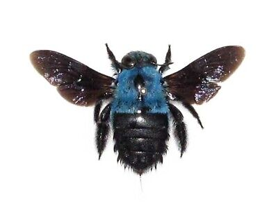 Wings Spread Blue Bumblebee Mounted Pinned