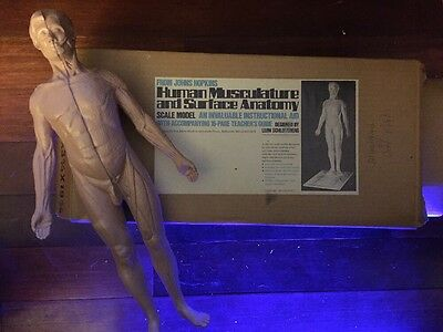 Human Musculature And Surface Anatomy Medical Scale Model