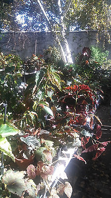 Begonia Clearance - one ea of 12 different named and labeled plants!!