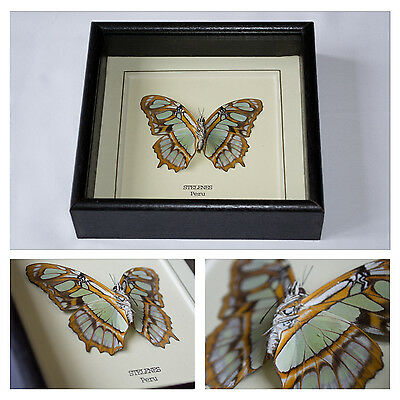 Real Stelenes Butterfly Hand Set and Framed in UK Beautiful Gift - Taxidermy