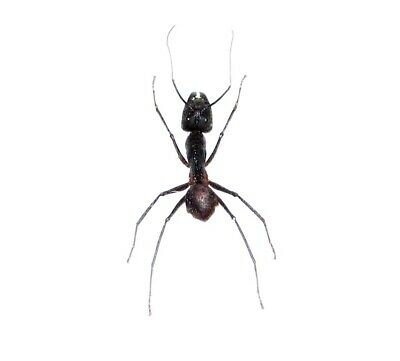 Huge Giant Bullet Ant Camponotus Gigas Unmounted Papered