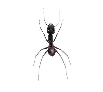 Huge Giant Bullet Ant Unmounted Papered