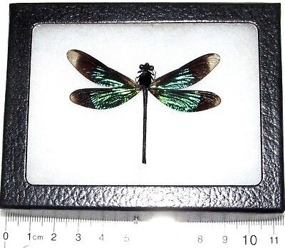 Real Green Black Dragonfly Damselfly Framed Insect