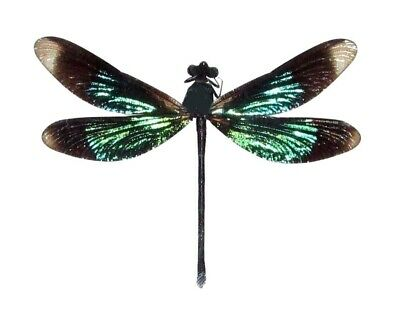 One Green Black Dragonfly Damselfly Mounted Unframed Papered Packaged Wholesale