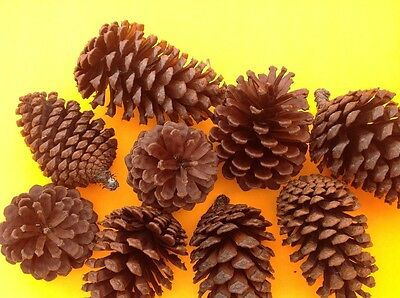 Natural pine cones 20 , perfect for Christmas decorations, FREE POSTAGE