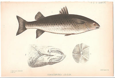 1869 Antique Fish Print-Lithograph by J. Smit-Original Hand colored