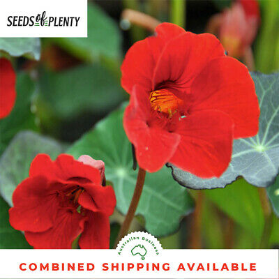 NASTURTIUM - Empress Of India (50 Seeds) BULK Beds & Borders HEIRLOOM Edible
