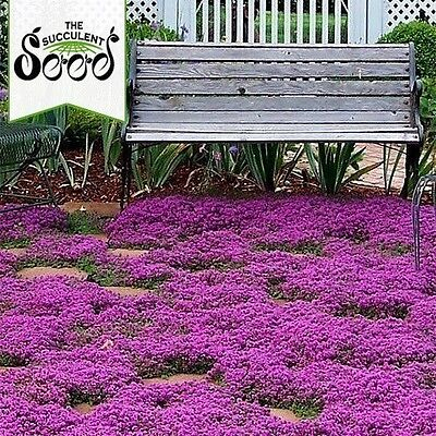 THYME - Creeping (4000 Seeds) BULK Ground Cover LAWN SUBSTITUTE Heirloom