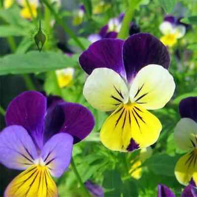 VIOLA  - Johnny Jump Up (450 Seeds) BULK Baskets COOL SEASON Heirloom