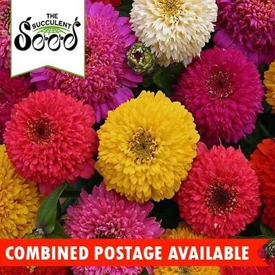 ZINNIA  - Dahlia Flowering Mixture (300 Seeds) BULK Beds & Borders CUT FLOWERS