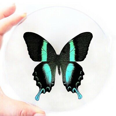Real Butterfly Blue Green Papilio Blumei Swallowtail Christmas Ornament