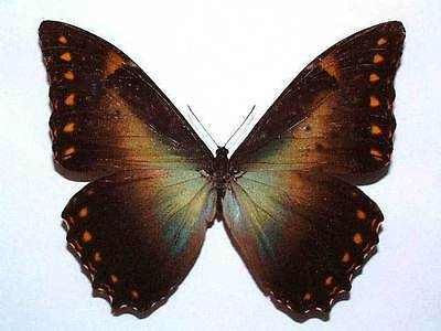 MORPHO TELEMACHUS PENELOPE - unmounted butterfly