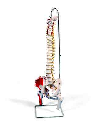 3B Scientific A58/3 Classic Flexible Spine Model with Femur Heads and Painted Mu