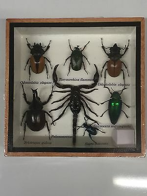Real Beatle Taxidermy In Wooden Display Case