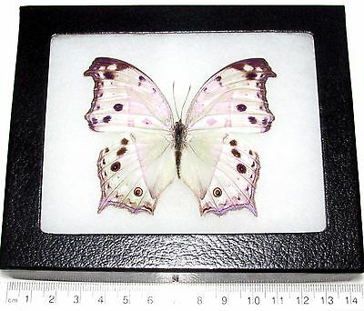 Real Framed Butterfly Mother Of Pearl African Salamis Parhassus