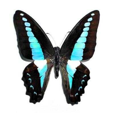 One Real Butterfly Blue Graphium Sarpedon Unmounted Papered