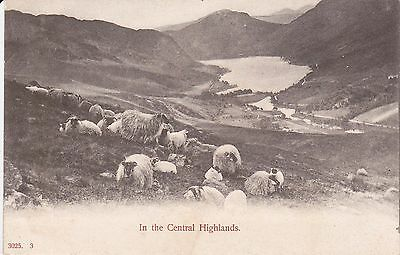 Sheep In The Highlands, Scotland - B&w Postcard