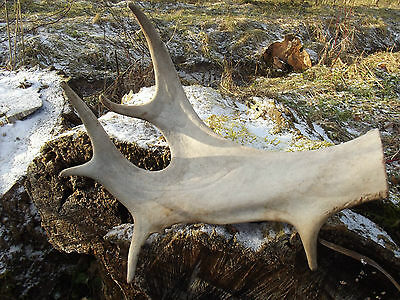 Real Moose Old Antler Taxidermy